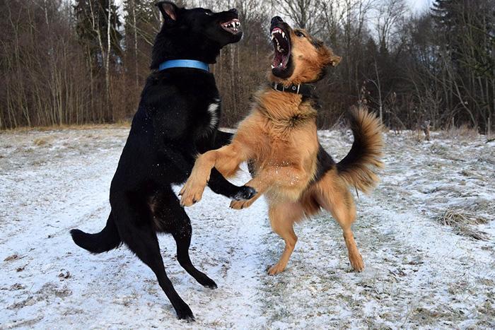 Дерущиеся собаки